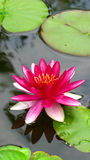 Pink waterlily. A beautiful pink waterlily in a pond royalty free stock image