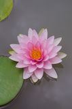 Pink waterlily. Beautiful pink waterlily or lotus flower in pond royalty free stock images