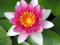 Pink waterlily closeup Royalty Free Stock Images