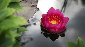 Pink Waterlily stock video