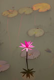 Pink waterlily flower Royalty Free Stock Images