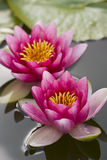 Pink waterlily flower on  pond Royalty Free Stock Image