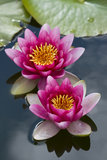 Pink waterlily flowers in pond Royalty Free Stock Image