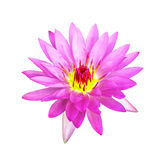 Pink waterlily isolated Stock Photo