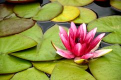 Pink waterlily and leaves floating on water Stock Image