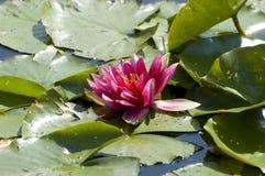 Pink waterlily Lotus flower. Pink exotic waterlilies blooming in pond Royalty Free Stock Photos
