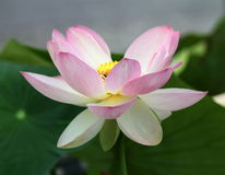 Pink waterlily or lotus flower Royalty Free Stock Photos