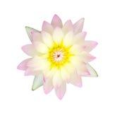 Pink waterlily or lotus flower Stock Photo