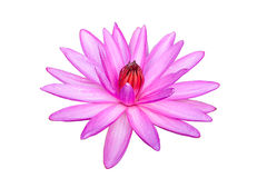Pink waterlily or lotus flower isolated on white. Royalty Free Stock Photo