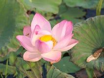Pink waterlily or lotus flower Royalty Free Stock Photos