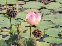 Pink waterlily or lotus flower Stock Photos