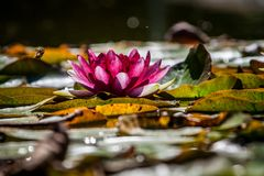 Pink WaterLily. Lotus leaves and bees Stock Photo