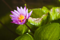 Pink waterlily. Royalty Free Stock Photos