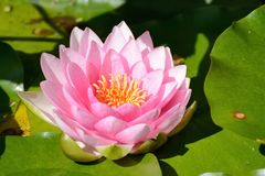 Pink waterlily, nymphea Stock Photo