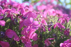 The pink wave. Pink flowers in the sun Royalty Free Stock Images