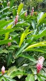 Pink Waxy Ginger Plants in the Jungle stock photography
