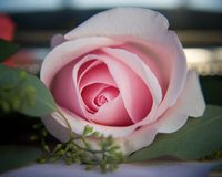 Pink wedding rose Stock Image