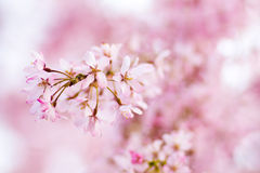 Pink weeping cherry blossoms Royalty Free Stock Photos
