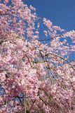 Weeping cherry under sky. Pink weeping cherry blossoms in vertical composition Stock Photos