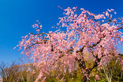 A pink weeping cherry tree against clear blue sky Royalty Free Stock Image