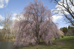 Pink weeping willow Royalty Free Stock Photo