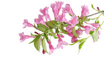 Pink Weigela Royalty Free Stock Image