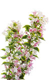 Pink Weigela Blossom Royalty Free Stock Image
