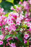 Pink weigela blossom flowers Royalty Free Stock Image