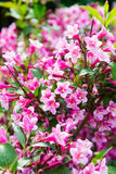 Pink weigela blossom flowers Stock Photography