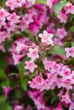 Pink weigela blossom flowers Stock Image