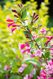Pink weigela blossom flowers Stock Photo