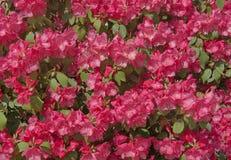 Pink weigela flower plant Stock Photos