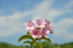 Pink weigela flowers Stock Images