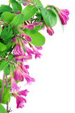 Pink Weigela postcard Royalty Free Stock Photos