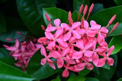 Pink west indian jasmine Stock Image