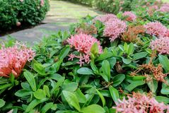 Pink west indian jasmine or Rubiaceae Bush by the Stone Walkway Stock Images