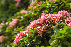 Pink west indian jasmine Rubiaceae Royalty Free Stock Images