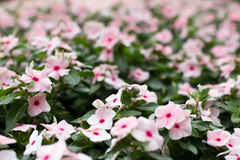 Pink West Indian Periwinkle Stock Photos
