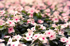 Pink West Indian Periwinkle Stock Photo