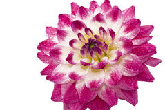 Pink Wet dahlia (georgina) with droplets Royalty Free Stock Photography