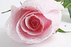 Pink wet rosebud Stock Photography