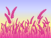 Pink Wheat Silhouettes at Field Royalty Free Stock Photo