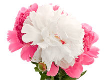 Pink and white Stock Image