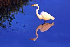 Pink and white. Great white egret in florida Royalty Free Stock Images