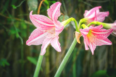 Pink white amaryllis flowers Royalty Free Stock Image