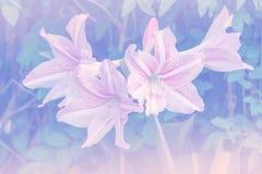 Pink white amaryllis flowers Stock Image
