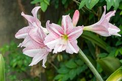 Pink white amaryllis flowers Stock Photos