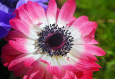 Pink white Anemone flower Royalty Free Stock Photos