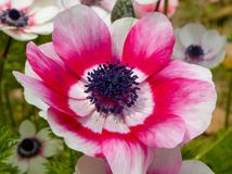 A pink and white anemone flower blooming Royalty Free Stock Photos