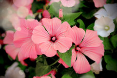 Pink and white annual mallow (Lavatera trimestris) in the bush Royalty Free Stock Photos